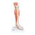 Life-Size Lower Muscle Leg Model with Detachable Knee, 3 part - 3B Smart Anatomy, 1000353 [M22], Muscle Models (Small)