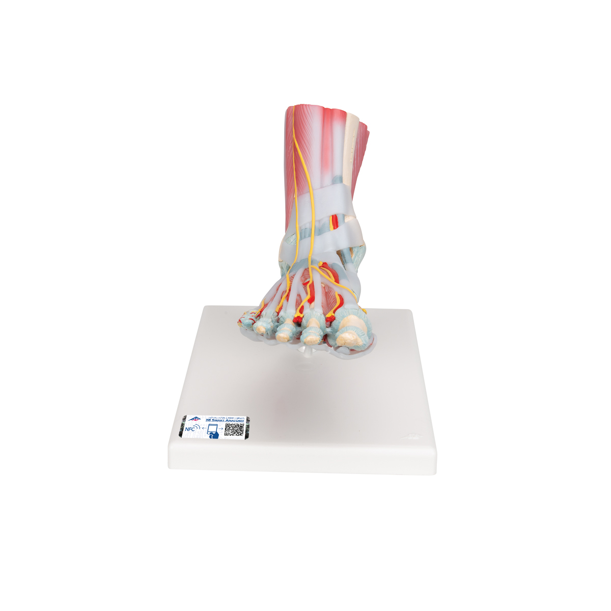 Anatomical Teaching Models | Plastic Human Joint Models | Foot ...