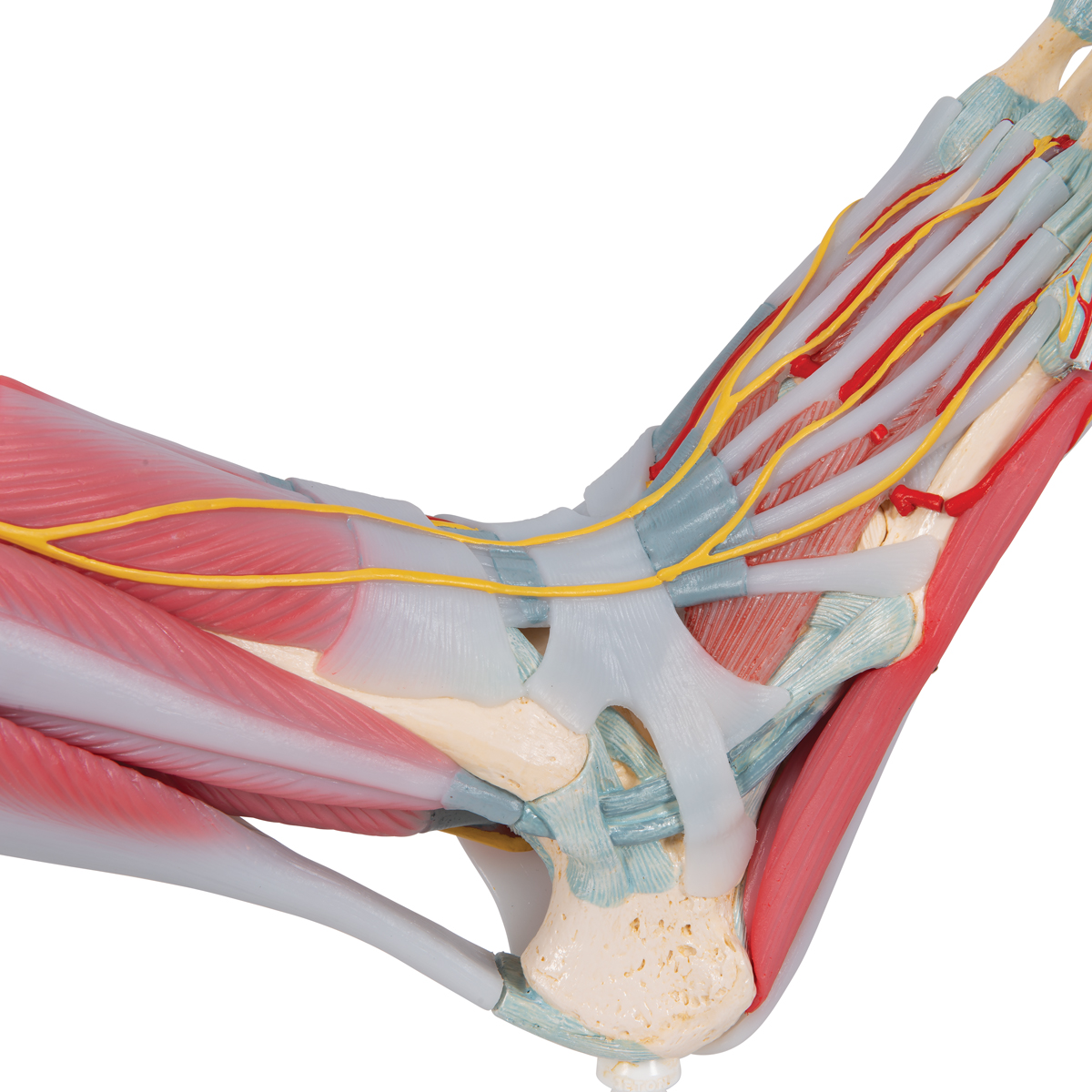 Anatomical Teaching Models Plastic Human Joint Models Foot Skeleton Model With Ligaments And Muscles