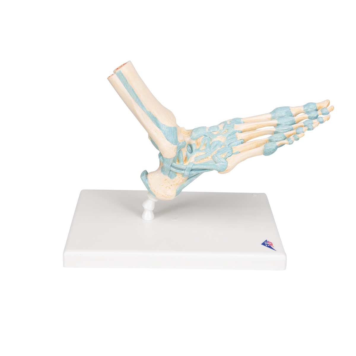 Ligament Model Model With Ligaments Zoom