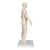 Acupuncture Model, male, 1000378 [N30], Human Torso Models (Small)