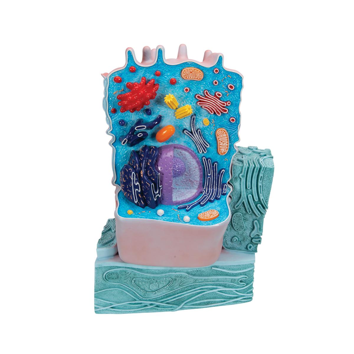 Animal Cell Model | Animal Cell Teaching Model | Plastic Animal ...
