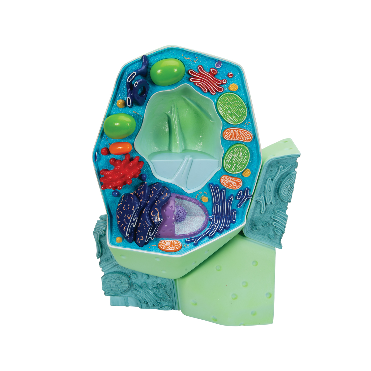 Plant Cell Model | Plant Cell Teaching Model | Plastic Plant Cell Model