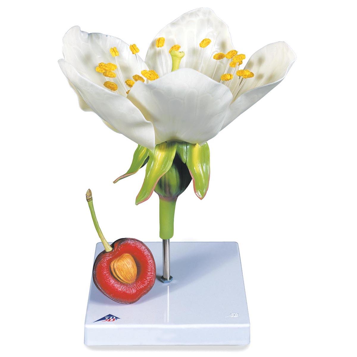 Cherry Blossom With Fruit Prunus Avium 3b Scientific