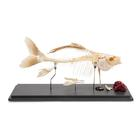 Carp Skeleton (Cyprinus carpio), Specimen, 1020962 [T300011], Fish