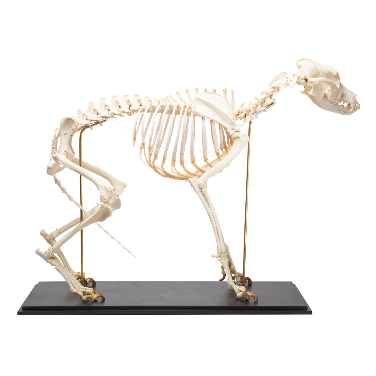 Dog Skeleton (Canis lupus familiaris), Size L, Specimen - 1020989 ...