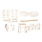 Dog skeleton (Canis lupus familiaris), size M, disarticulated, 1020992 [T300091MU], Pets