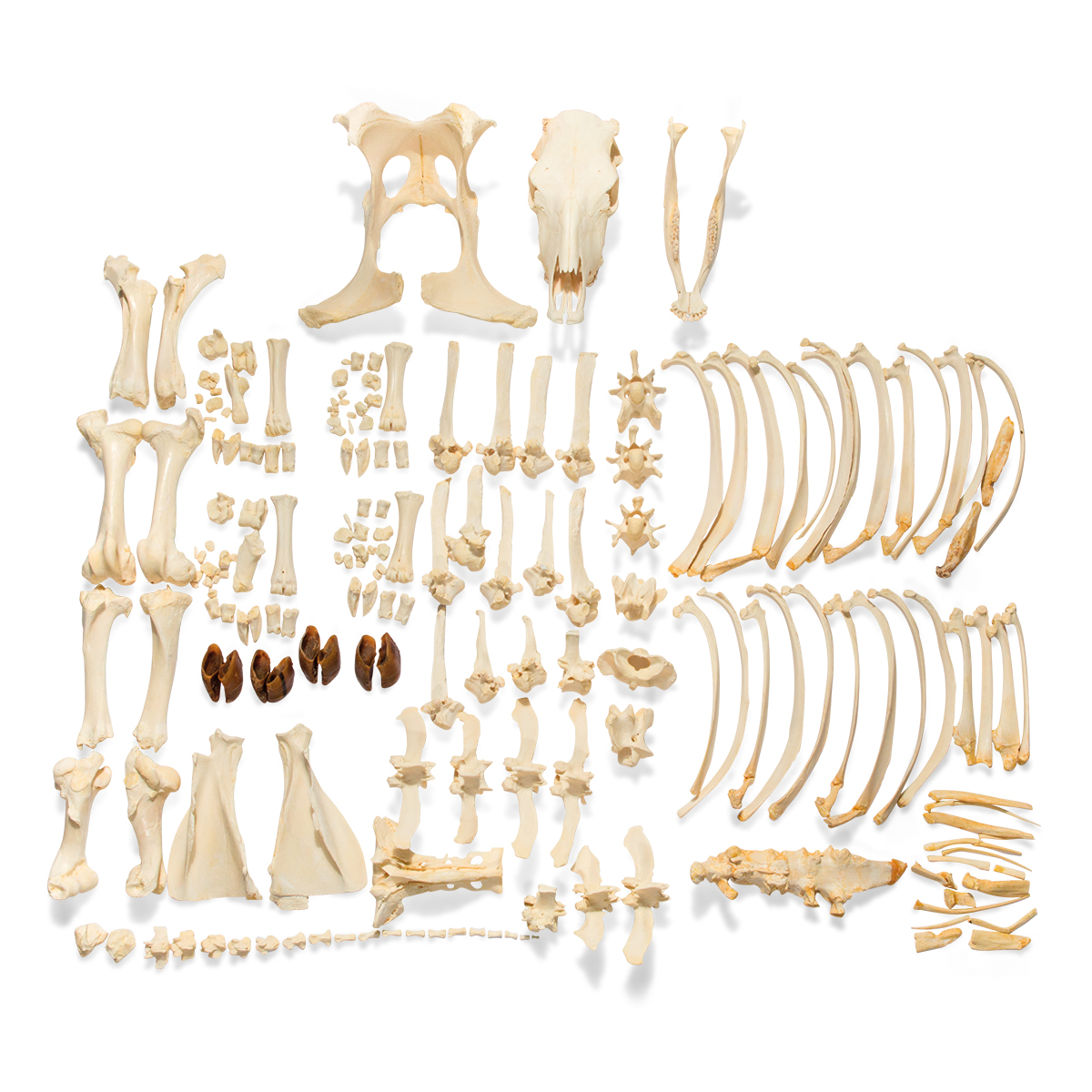 Bovine Skeleton Bos Taurus Without Horns Disarticulated