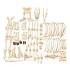 Bovine skeleton (Bos taurus), without horns, disarticulated, 1020975 [T300121w/oU], Farm Animals