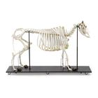 Bovine skeleton (Bos taurus), with horns, articulated, 1020974 [T300121w], Farm Animals