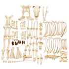 Bovine skeleton (Bos taurus), with horns, disarticulated, 1020976 [T300121wU], Farm Animals