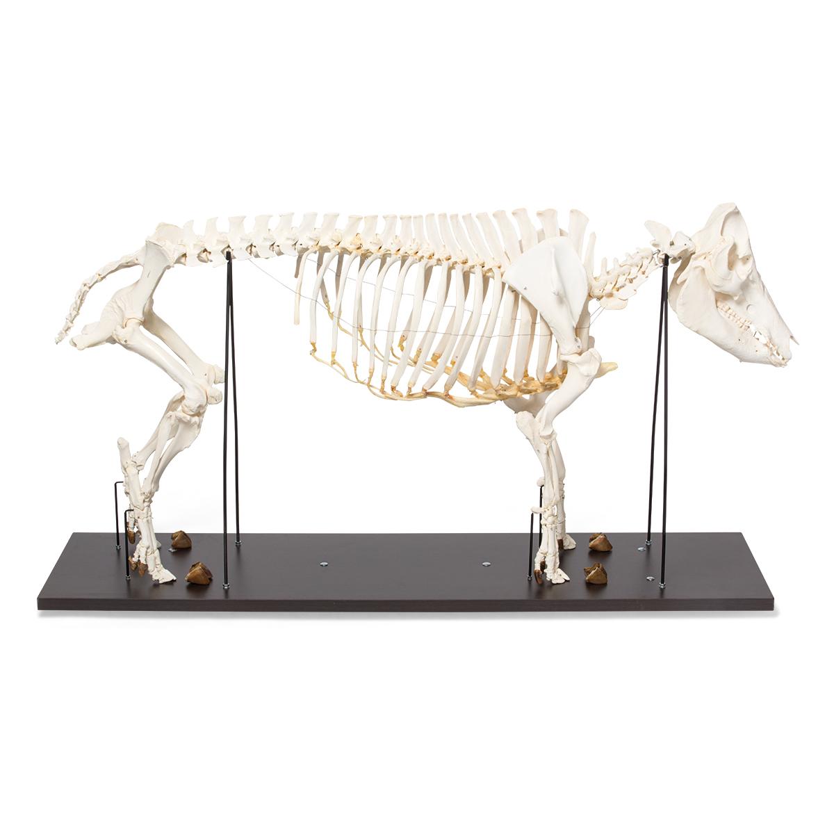 Domestic Pig Skeleton Sus Scrofa Domesticus Female Specimen