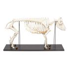 Domestic Pig Skeleton (Sus scrofa domesticus), Female, Specimen, 1020996 [T300131f], Farm Animals