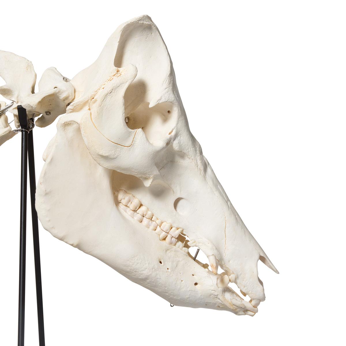 Domestic Pig Skeleton (Sus scrofa domesticus), Female, Specimen ...