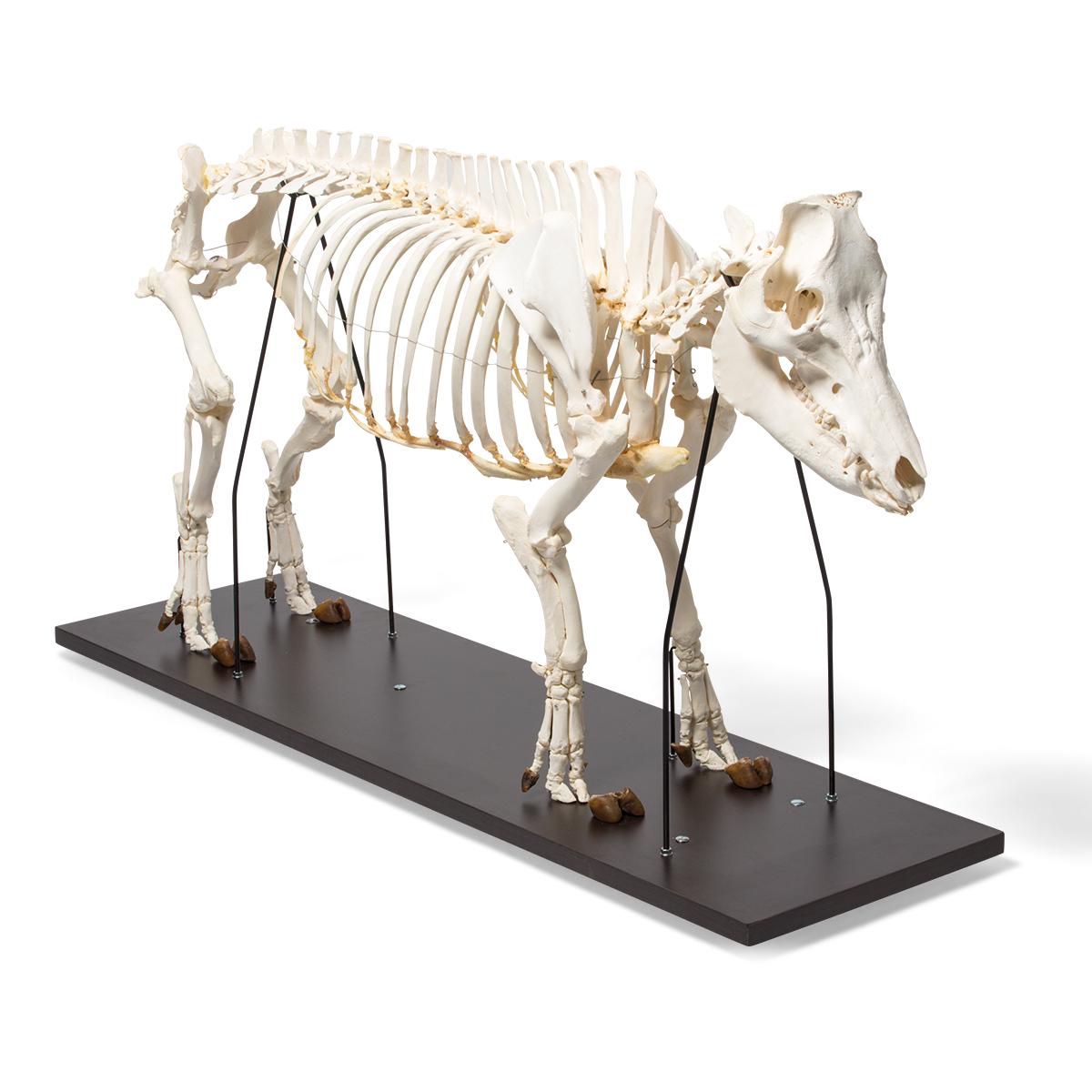 Domestic Pig Skeleton Sus Scrofa Domesticus Male Specimen