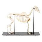 Horse Skeleton (Equus ferus caballus), Female, Specimen, 1021002 [T300141f], Farm Animals