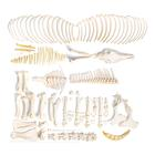 Horse skeleton (Equus ferus caballus), female, disarticulated, 1021004 [T300141fU], Osteology