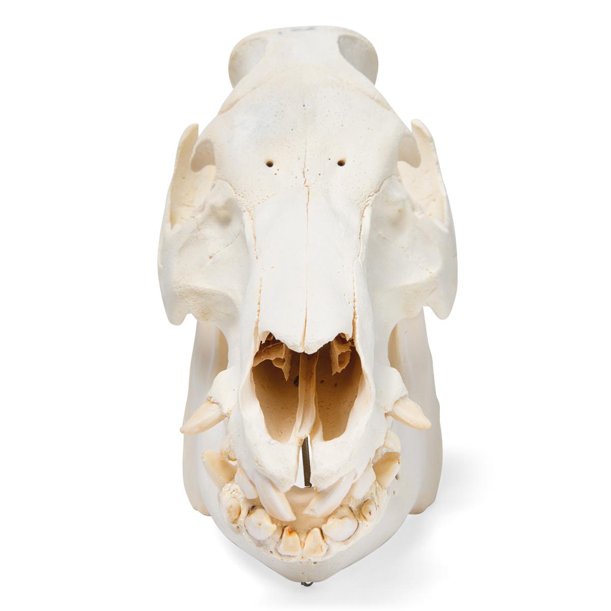 Domestic Pig Skull (Sus scrofa domesticus), Female, Specimen ...