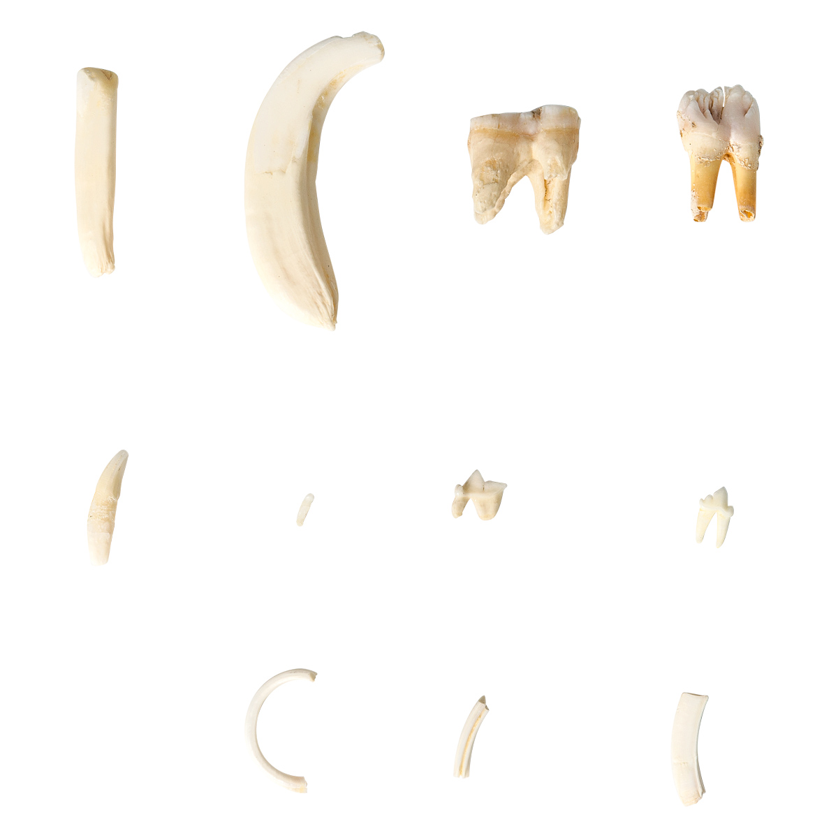 Tooth Types of Different Mammals (Mammalia), Deluxe Version ...