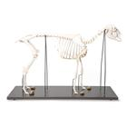 Domestic Sheep Skeleton (Ovis aries), Female, Specimen, 1021024 [T300361f], Farm Animals