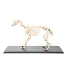 Dog Skeleton (Canis lupus familiaris), Size L, Flexibly Mounted, Specimen, 1020991 [T300401L], Pets