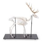 Red Deer Skeleton (Cervus elaphus), male, articulated on base, 1021010 [T30047M], Farm Animals