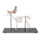 Fallow Deer Skeleton (Dama dama), male, articulated on base, 1021016 [T30048M], Farm Animals