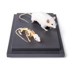 Mouse and Mouse Skeleton (Mus musculus) in Display Case, Specimens, 1021039 [T310011], Rodents (Rodentia)