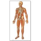 The Human Skeleton Chart, front,V2001M
