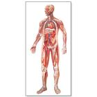The Vascular System Chart, 4006515 [V2004U], Anatomical Charts