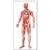 The Vascular System Chart, 4006515 [V2004U], Cardiovascular System (Small)