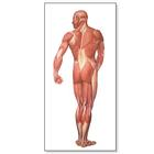 The Human Musculature Chart, rear,V2005M