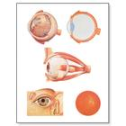 The Eye I Chart, Anatomy, 4006521 [V2011U], Ophthalmology