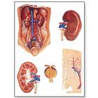 The Kidney Chart, 1001165 [V2013M], Metabolic System