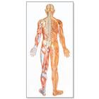 The Nervous System Chart, rear, 4006540 [V2038U], Anatomical Charts
