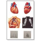 The Heart I Chart, Anatomy, 4006552 [V2053U], Anatomical Charts