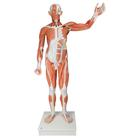Life size Male Muscular Figure, 37-part,VA01