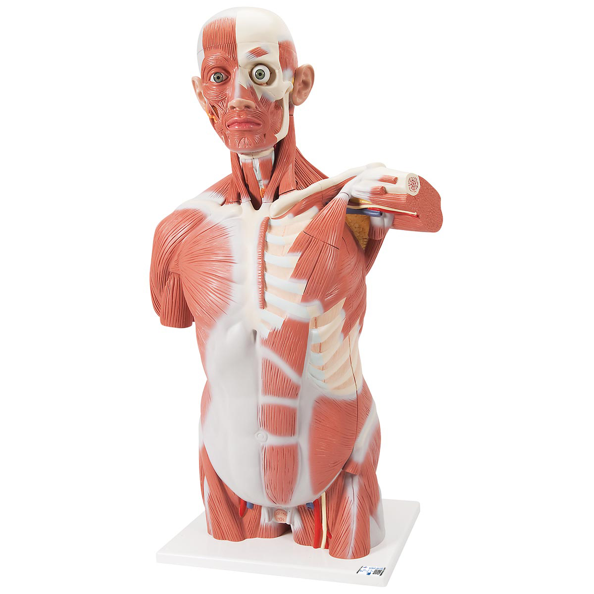 anatomical teaching models | plastic human muscle models | dual, Muscles