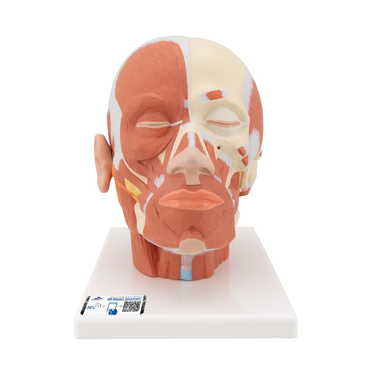 Anatomical Teaching Models Plastic Anatomy Models Head Musculature