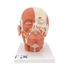 Head Musculature, 1001239 [VB127], Head Models