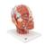 Head Musculature Model with Blood Vessels - 3B Smart Anatomy, 1001240 [VB128], Head Models (Small)