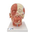 Head Musculature Model with Nerves - 3B Smart Anatomy, 1008543 [VB129], Head Models