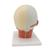 Head Musculature Model with Nerves - 3B Smart Anatomy, 1008543 [VB129], Head Models (Small)