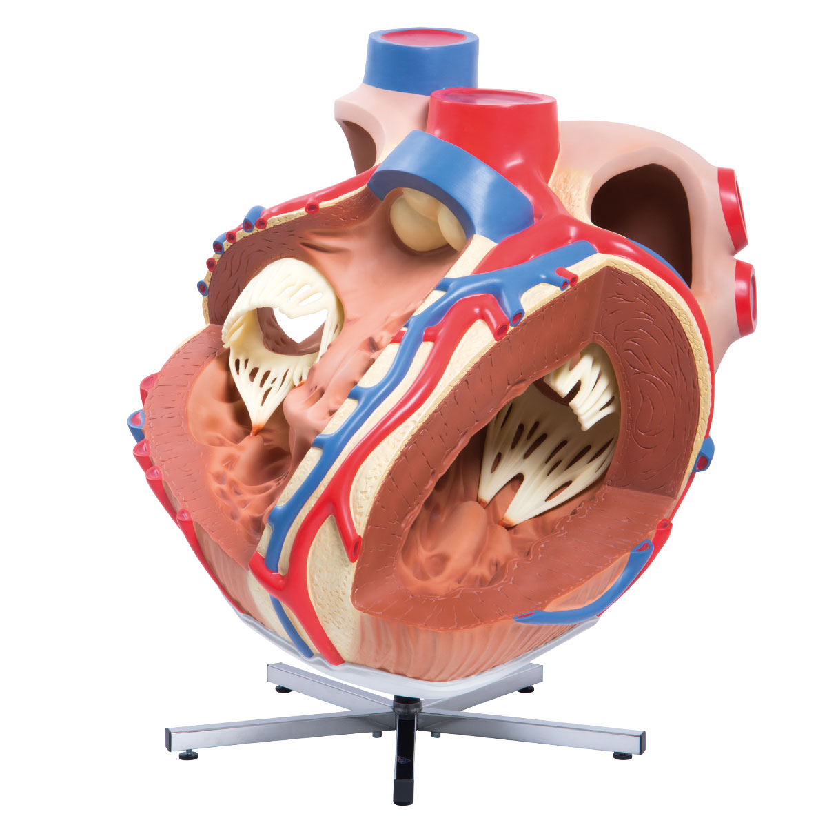 Anatomical Heart Model - Anatomy of the Heart - Giant Heart Model ...