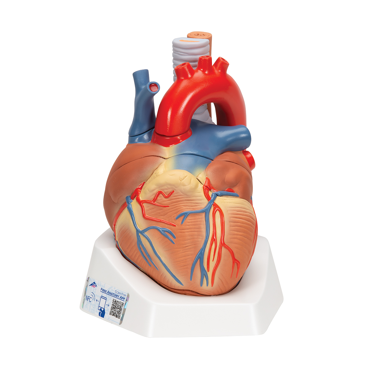 Image result for Human Heart Model, 7 part.