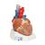 Human Heart Model, 7 part - 3B Smart Anatomy, 1008548 [VD253], Human Heart Models (Small)