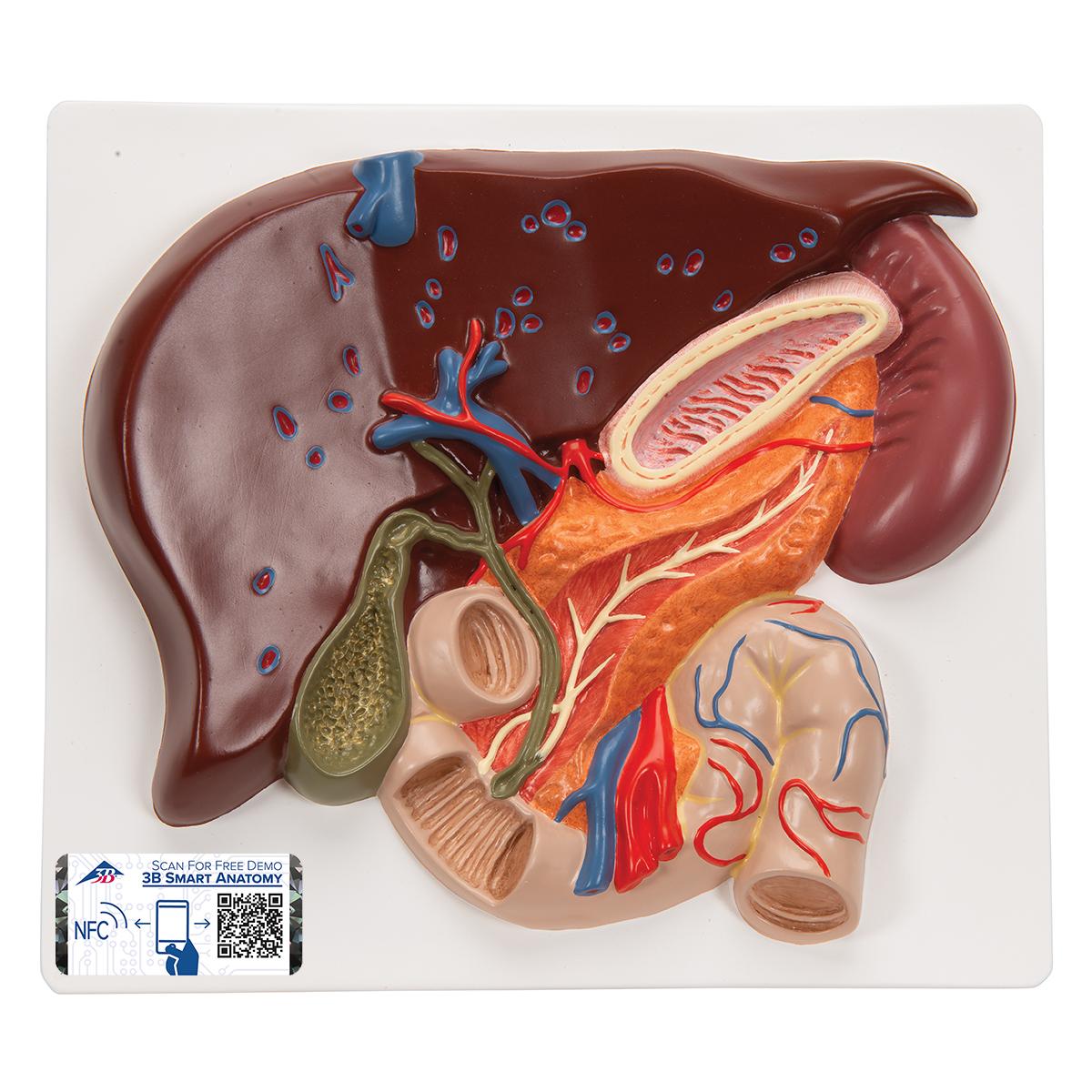 Anatomical Teaching Models - Plastic Human Digestive Models - Liver ...