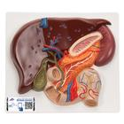 Liver Model with Gall Bladder, Pancreas & Duodenum - 3B Smart Anatomy, 1008550 [VE315], Digestive System Models
