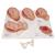 Labor Stages Model, Small - 3B Smart Anatomy, 1001259 [VG393], Pregnancy Models (Small)