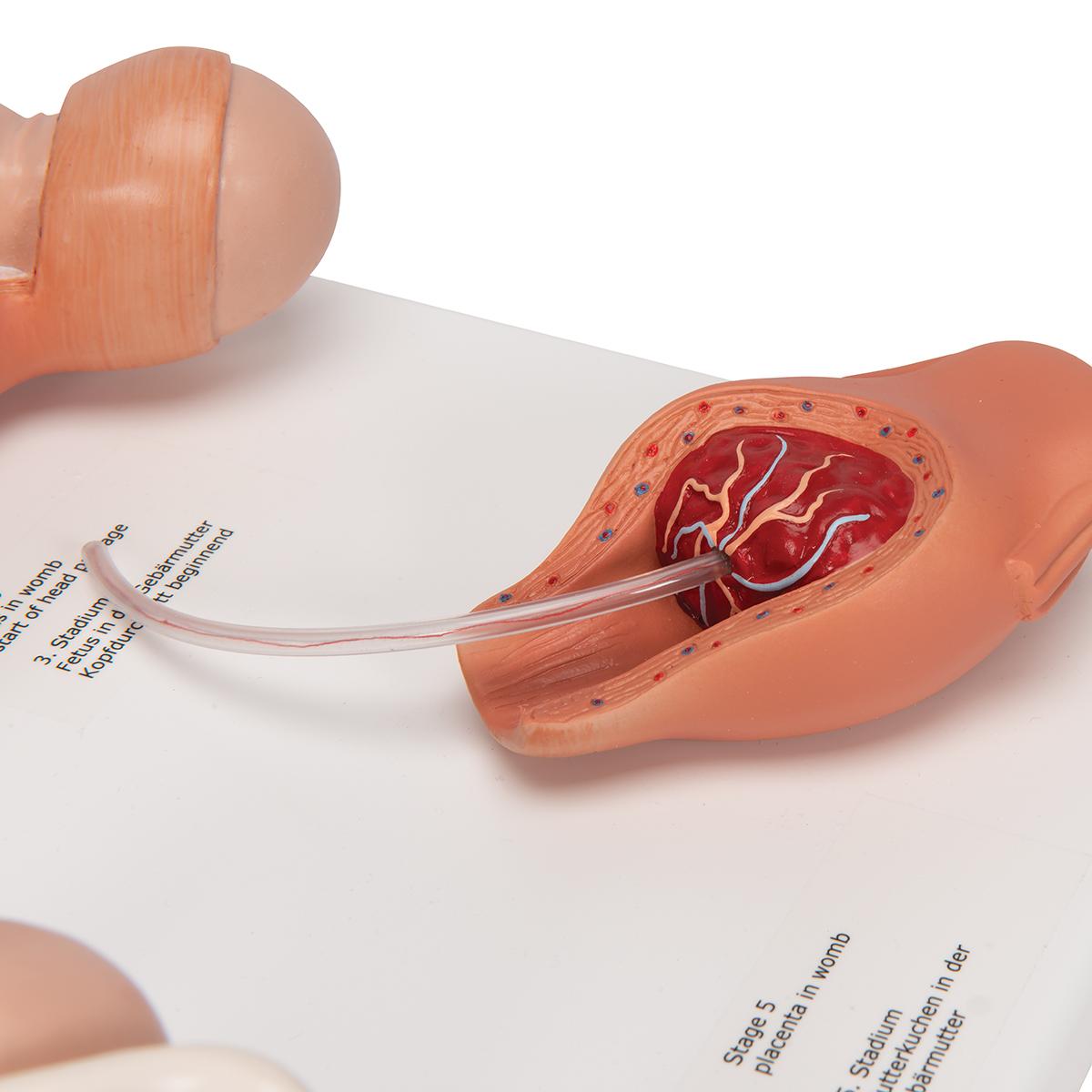 ZLF Scientific Human Anatomy Medical Teaching Tool Toy Fetal Development Process Model Set Human Anatomy Model Pregnancy Development Process Model